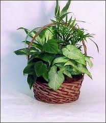 Potted Fresh Live Plant